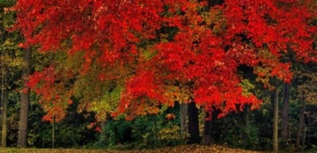 (מאמר דעה) שלכת | הקרוטנואידים בשירות הצומח והאדם